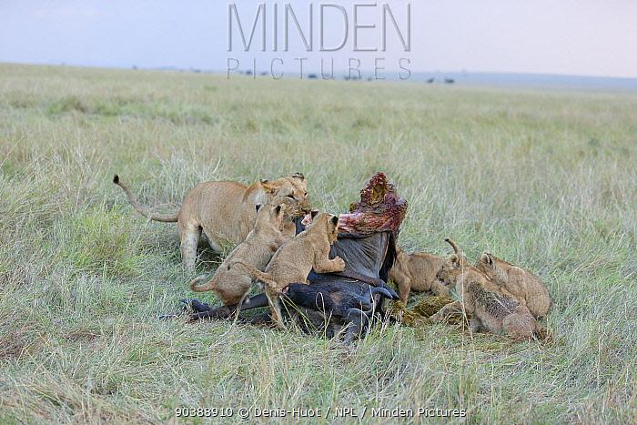 Lioness (Panthera leo) and cubs feeding at dawn, Masai-Mara Game Reserve, Kenya  -  Denis Huot/ npl