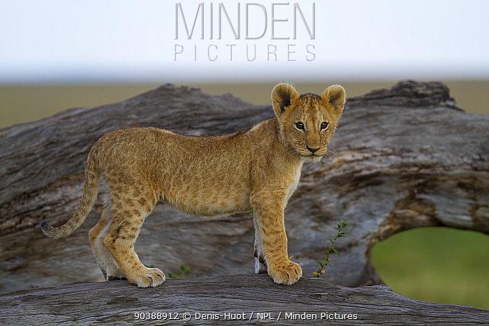 Lion (Panthera leo) cubs standing on rocks, Masai-Mara Game Reserve, Kenya Vulnerable species  -  Denis Huot/ npl