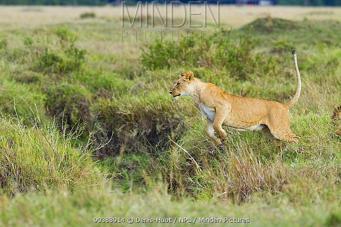 Lioness (Panthera leo) jumping, Masai-Mara Game Reserve, Kenya Sequence B 1 of 6  -  Denis Huot/ npl