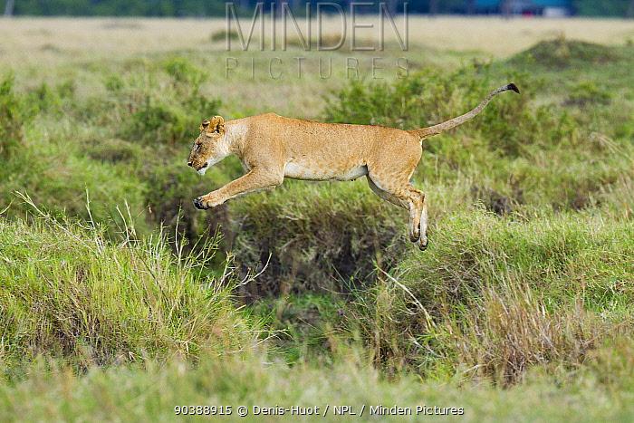Lioness (Panthera leo) jumping, Masai-Mara Game Reserve, Kenya Sequence B 3 of 6  -  Denis Huot/ npl