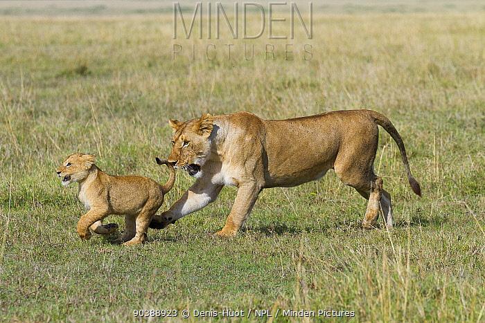 Lioness (Panthera leo) and cub playing, Masai-Mara Game Reserve, Kenya  -  Denis Huot/ npl
