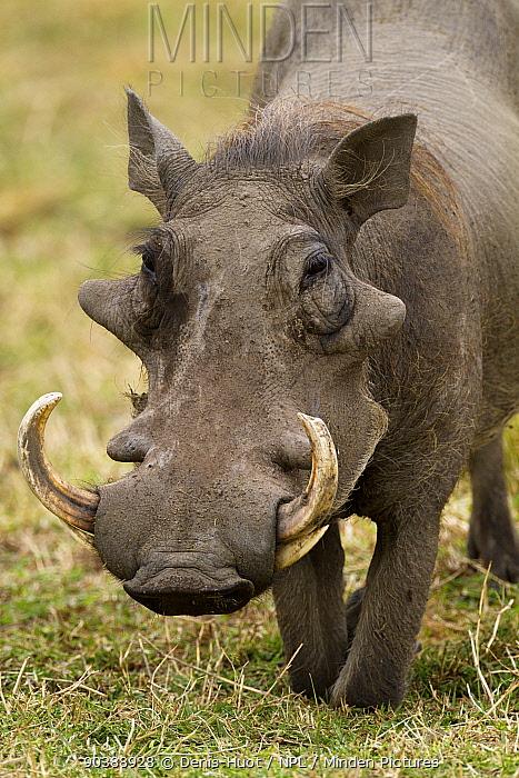 Warthog (Phaecochoerus aethiopicus) male, Masai-Mara Game Reserve, Kenya  -  Denis Huot/ npl