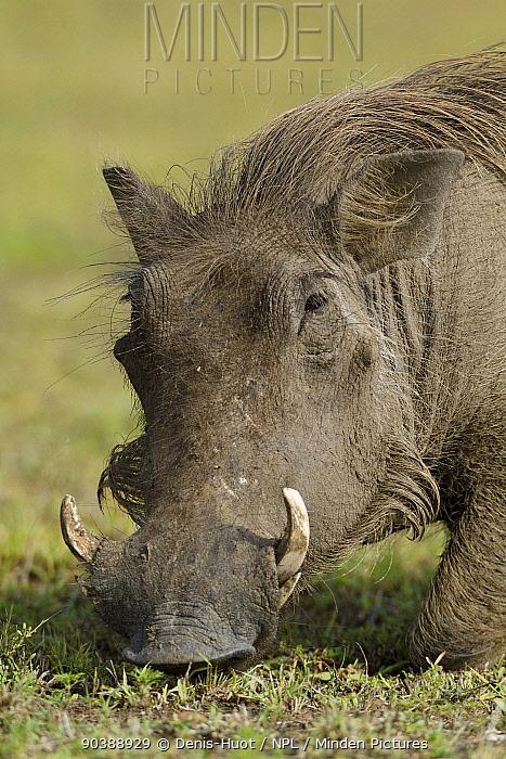 Warthog (Phaecochoerus aethiopicus) male feeding, Masai-Mara Game Reserve, Kenya  -  Denis Huot/ npl