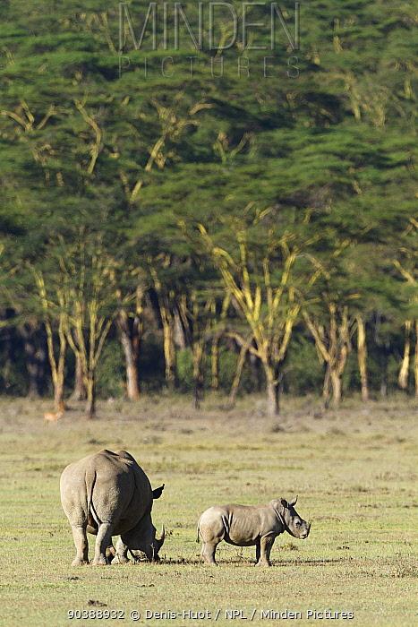 White rhino (Ceratotherium simum) mother grazing with baby, Nakuru National Park, Kenya  -  Denis Huot/ npl