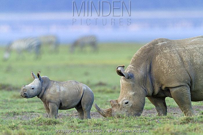 White rhino (Ceratotherium simum) mother and baby grazing, Nakuru National Park, Kenya  -  Denis Huot/ npl