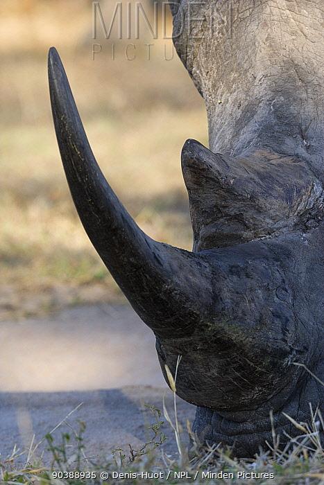 White rhino (Ceratotherium simum) close-up of horns, Kruger national park, South Africa  -  Denis Huot/ npl