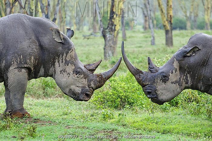 White rhino (Ceratotherium simum) fighting in the rain, Nakuru National Park, Kenya  -  Denis Huot/ npl
