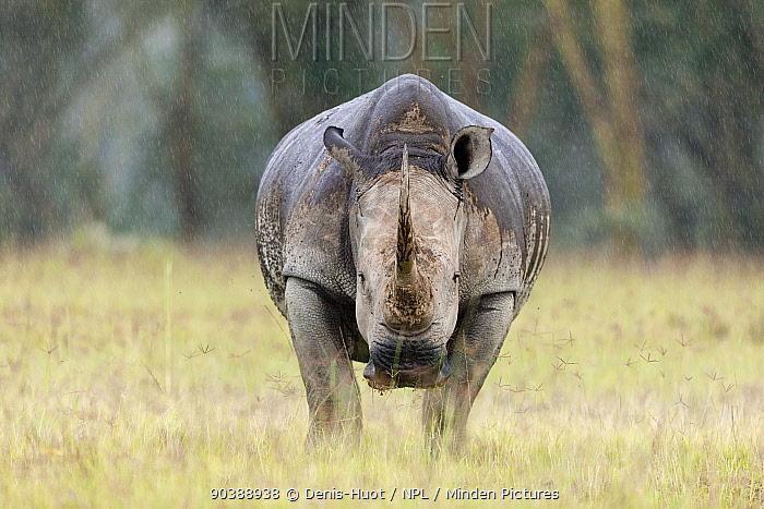 White rhino (Ceratotherium simum) in the rain, Nakuru National Park, Kenya  -  Denis Huot/ npl