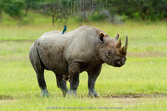 Black rhino (Diceros bicornis) with a Rueppell's Glossy-Starling (Lamprotornis purpuropterus) on its back and Oxpeckers on its legs, Nakuru National Park, Kenya Critically endangered species  -  Denis Huot/ npl