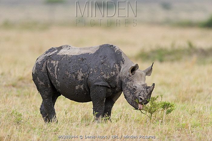 Black rhino (Diceros bicornis) eating, covered in mud, Masai-Mara Game Reserve, Kenya  -  Denis Huot/ npl