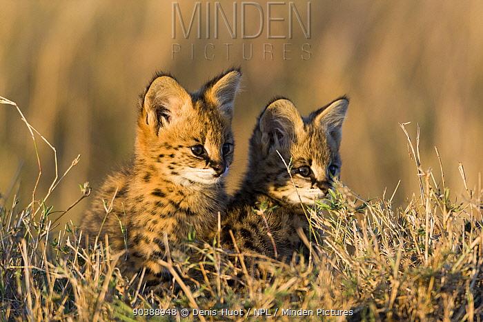 Serval cat (Felis serval) kittens, Masai-Mara Game Reserve, Kenya  -  Denis Huot/ npl