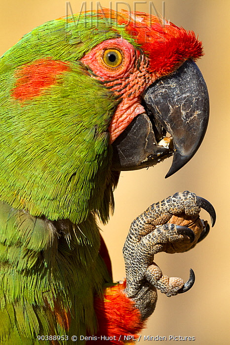 Red-fronted macaw (Ara rubrogeny) South America Endangered species  -  Denis Huot/ npl
