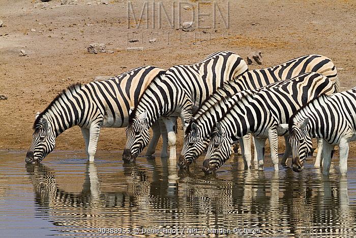 Burchell's zebra (Equus quagga) at a waterhole, Etosha national park, Namibia  -  Denis Huot/ npl