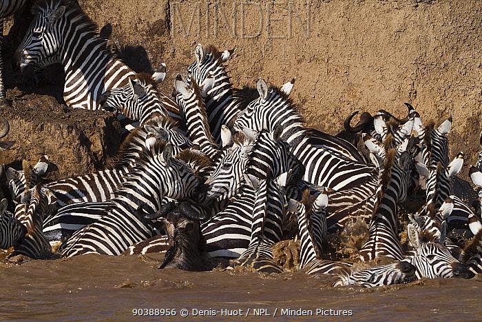 Grant's zebra (Equus burchelli boehmi) crossing the Mara river, Masai-Mara Game Reserve, Kenya  -  Denis Huot/ npl