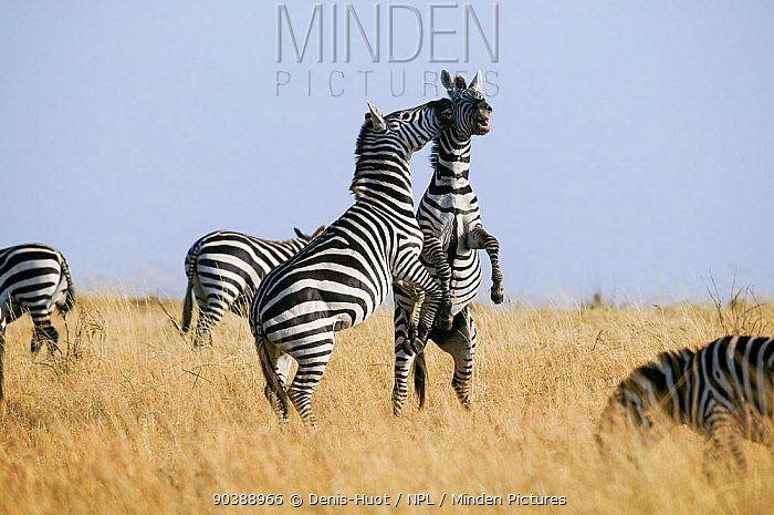 Grant's zebra (Equus burchelli boehmi) males fighting, Masai-Mara Game Reserve, Kenya  -  Denis Huot/ npl