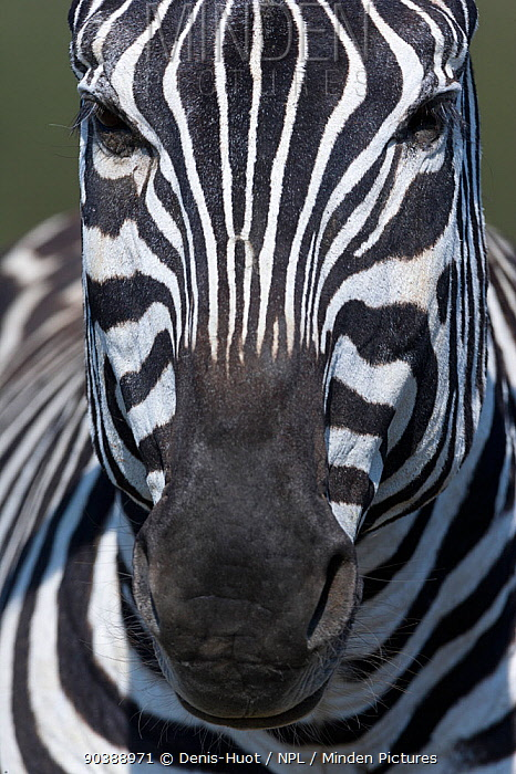 Grant's zebra (Equus burchelli boehmi) close-up portrait, Masai-Mara Game Reserve, Kenya  -  Denis Huot/ npl