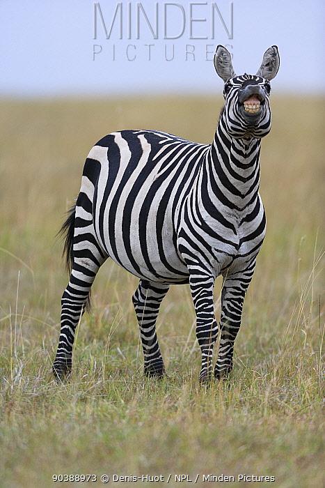 Grant's zebra (Equus burchelli boehmi) showing 'flehmen response' to smell, Masai-Mara Game Reserve, Kenya  -  Denis Huot/ npl