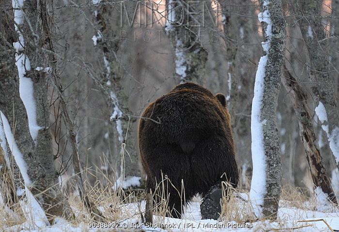 Kamchatka Brown Bear (Ursus arctos beringianus) walking through snowy woodland Kronotsky Zapovednik Nature Reserve, Kamchatka Peninsula, Russian Far East, March  -  Igor Shpilenok/ npl