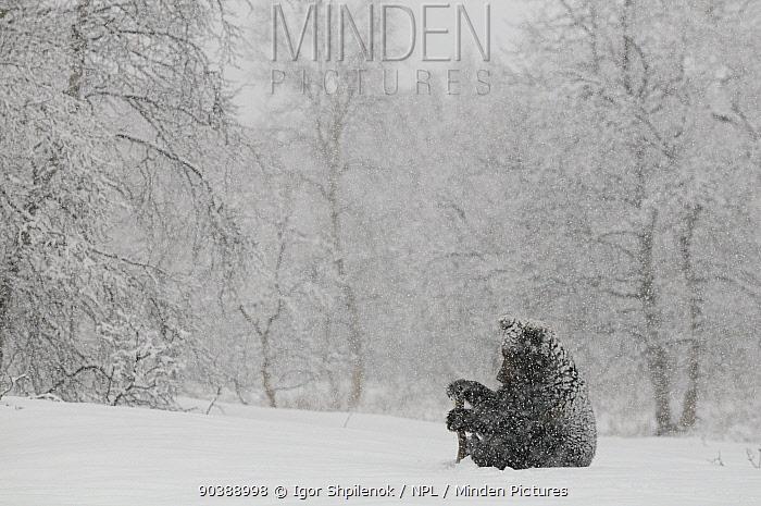 Kamchatka Brown Bear (Ursus arctos beringianus) sitting in heavy snowfall Kronotsky Zapovednik Nature Reserve, Kamchatka Peninsula, Russian Far East, December  -  Igor Shpilenok/ npl