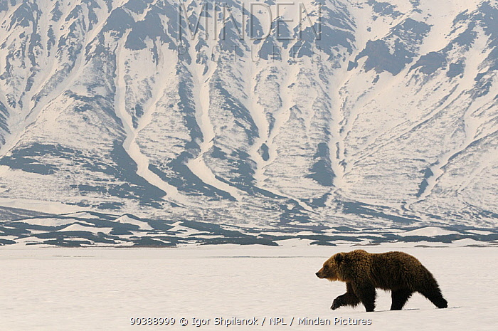 Kamchatka Brown Bear (Ursus arctos beringianus) recently risen from hibernation in the caldera of the Uzon Volcano Kronotsky Zapovednik Nature Reserve, Kamchatka Peninsula, Russian Far East, April  -  Igor Shpilenok/ npl