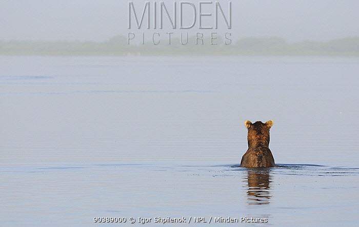 Kamchatka Brown Bear (Ursus arctos beringianus) fishing in lake, looking to misty horizon Kronotsky Zapovednik Nature Reserve, Kamchatka Peninsula, Russian Far East, May  -  Igor Shpilenok/ npl