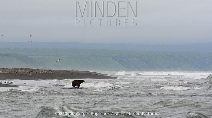 Kamchatka Brown Bear (Ursus arctos beringianus) on the Pacific coast of Kamchatka Kronotsky Zapovednik Nature Reserve, Kamchatka Peninsula, Russian Far East, July  -  Igor Shpilenok/ npl