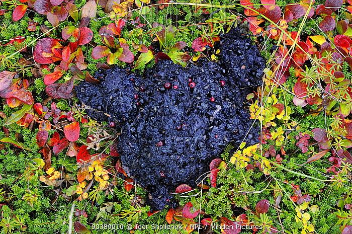 Kamchatka Brown Bear (Ursus arctos beringianus) droppings, revealing a diet of blueberries Kronotsky Zapovednik Nature Reserve, Kamchatka Peninsula, Russian Far East, May  -  Igor Shpilenok/ npl