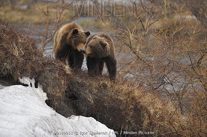 Kamchatka Brown Bears (Ursus arctos beringianus) interacting Kronotsky Zapovednik Nature Reserve, Kamchatka Peninsula, Russian Far East, July  -  Igor Shpilenok/ npl