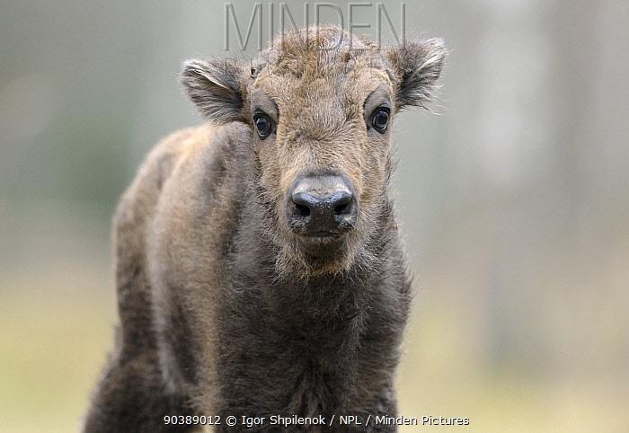 European Bison (Bison bonasus) calf portrait 'Mefody', first calf born to reintroduced herd in Bryansk Forest Bryansk Forest Zapovednik, Kamchatka, Russian Far East, May  -  Igor Shpilenok/ npl