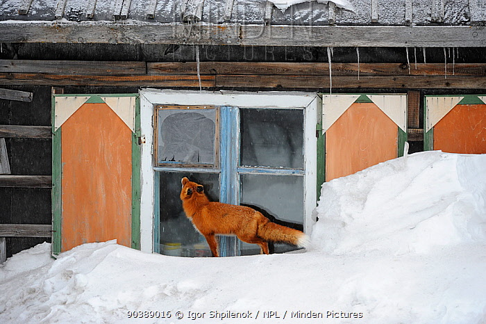 Red Fox (Vulpes vulpes) investigating ranger cabin window Kronotsky Zapovednik Nature Reserve, Kamchatka Peninsula, Russian Far East, March  -  Igor Shpilenok/ npl