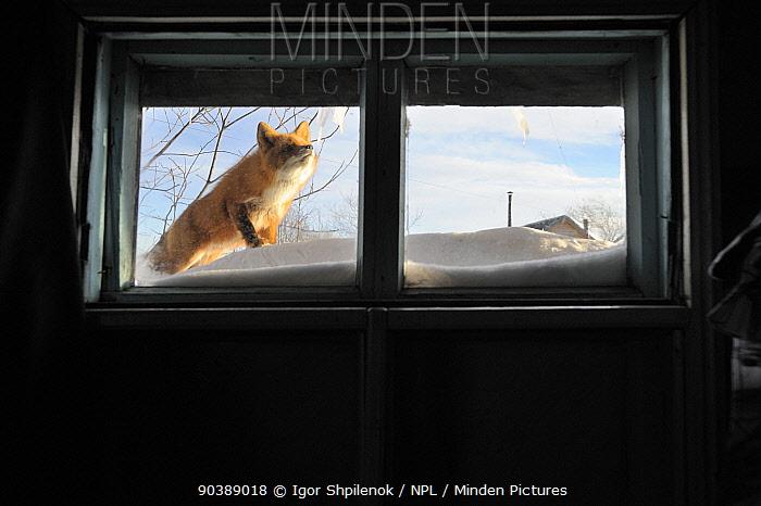 Red Fox (Vulpes vulpes) investigating the window of ranger station cabin Kronotsky Zapovednik Nature Reserve, Kamchatka Peninsula, Russian Far East, February  -  Igor Shpilenok/ npl