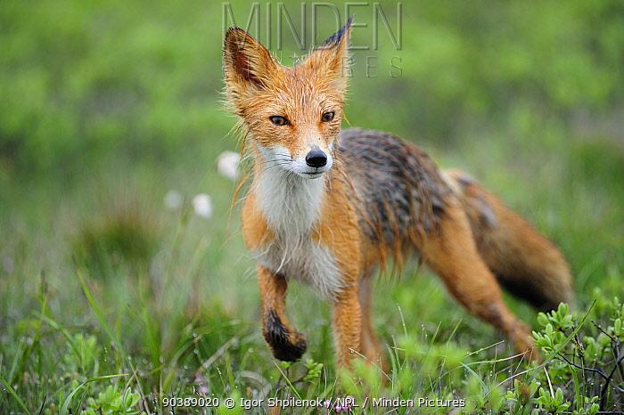 Red Fox (Vulpes vulpes) wet with dew Kronotsky Zapovednik Nature Reserve, Kamchatka Peninsula, Russian Far East, July  -  Igor Shpilenok/ npl