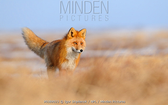 Red Fox (Vulpes vulpes) in dry grasses showing similarity of colouring between fur and grass Kronotsky Zapovednik Nature Reserve, Kamchatka Peninsula, Russian Far East, July  -  Igor Shpilenok/ npl