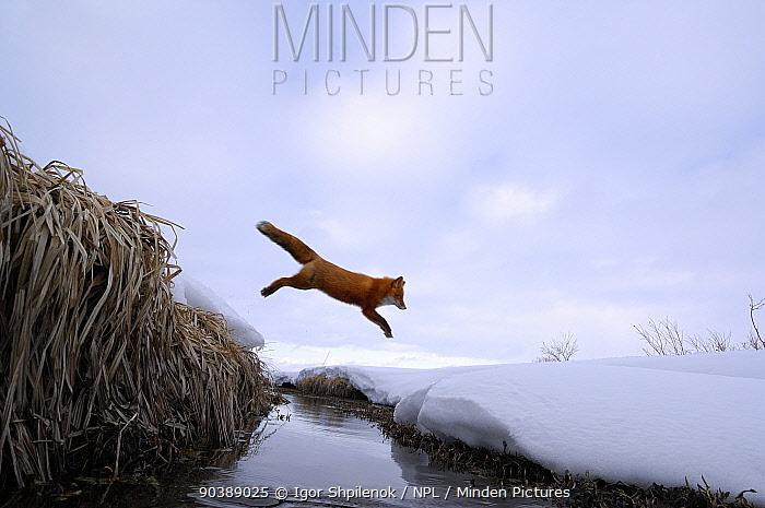 Red Fox (Vulpes vulpes) jumping across stream Kronotsky Zapovednik Nature Reserve, Kamchatka Peninsula, Russian Far East, March  -  Igor Shpilenok/ npl