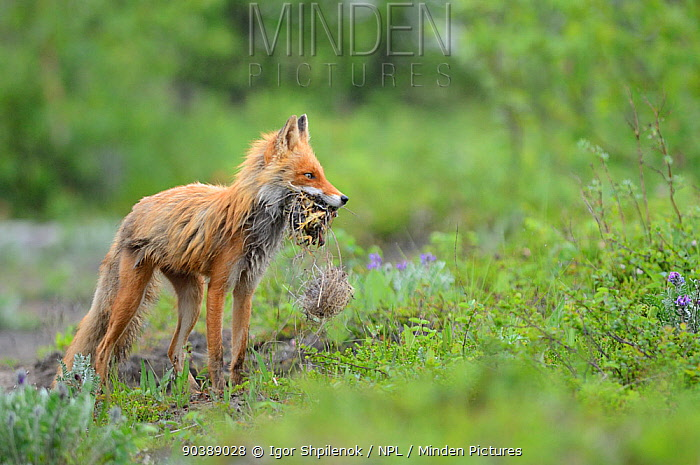 Red Fox (Vulpes vulpes) female with nest and chicks in mouth Kronotsky Zapovednik Nature Reserve, Kamchatka Peninsula, Russian Far East, July  -  Igor Shpilenok/ npl