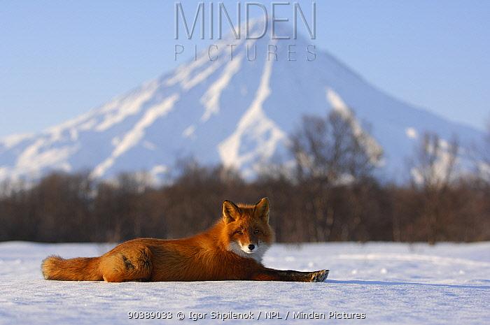 Red Fox (Vulpes vulpes) lying on snow with Kronotsky Volcano on horizon Kronotsky Zapovednik Nature Reserve, Kamchatka Peninsula, Russian Far East, March  -  Igor Shpilenok/ npl