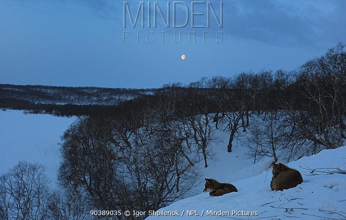 Red Foxes (Vulpes vulpes) resting on snow under moon Under the moon Kronotsky Zapovednik Nature Reserve, Kamchatka Peninsula, Russian Far East, October  -  Igor Shpilenok/ npl
