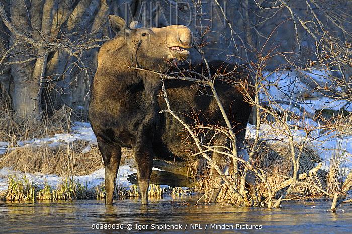 Female Moose (Alces alces) browsing willow bush in stream Kronotsky Zapovednik Nature Reserve, Kamchatka Peninsula, Russian Far East, December  -  Igor Shpilenok/ npl