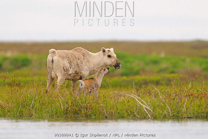 Reindeer (Rangifer tarandus) female with newborn calf by river Kronotsky Zapovednik Nature Reserve, Kamchatka Peninsula, Russian Far East, October  -  Igor Shpilenok/ npl