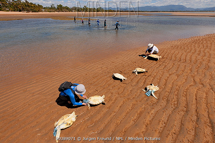 Volunteers cover the heads of newly caught green turtles with a pouch to calm them down while others sieve the water puddles for more turtles Townsville, Queensland, Australia, August 2011  -  Jurgen Freund/ npl