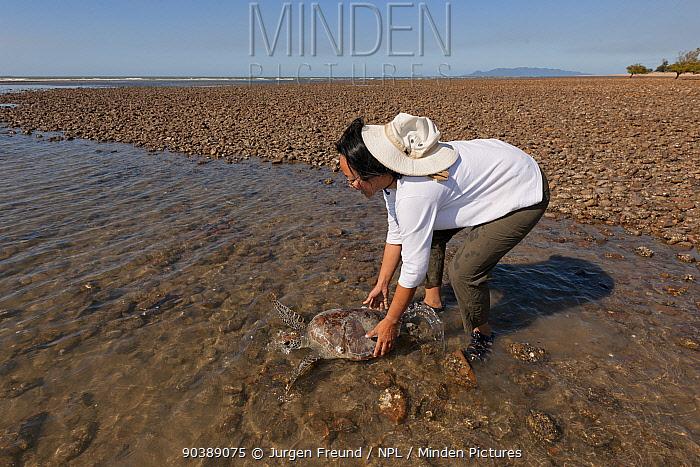 Stella Chiu Freund releases a healthy green turtle (Chelonia mydas) back to the sea after it has undergone data gathering from JCU research team Townsville, Queensland, Australia, August 2011  -  Jurgen Freund/ npl