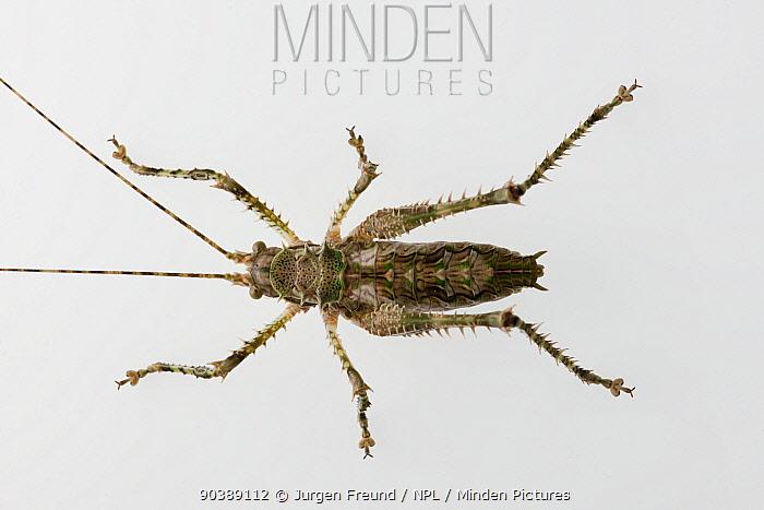 Prickly katydid (Phricta sp) from Daintree Rainforest, Queensland, Australia  -  Jurgen Freund/ npl