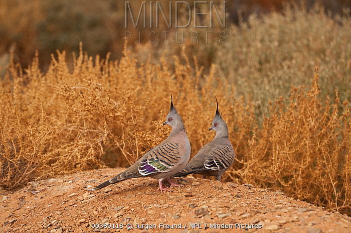 Crested Pigeons (Ocyphaps lophotes) in the desert, South Australia, Australia  -  Jurgen Freund/ npl