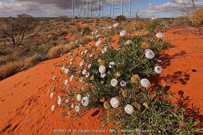 Desert wild flowers against the red sand dunes, South Australia, Australia  -  Jurgen Freund/ npl