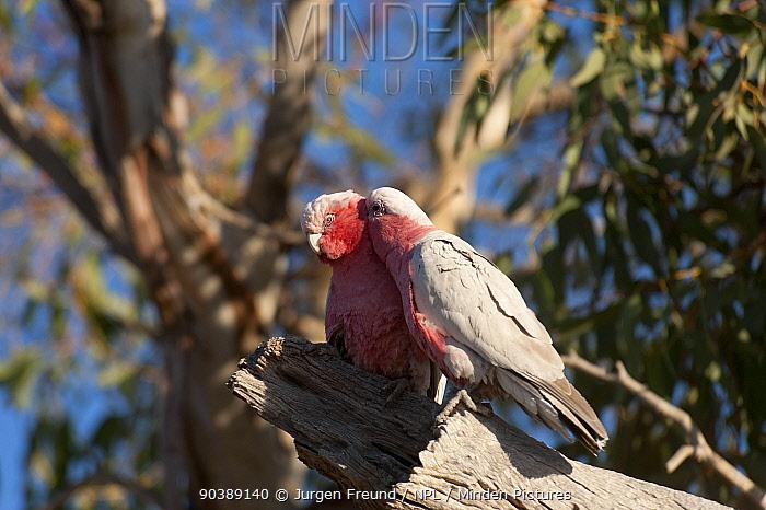 Galahs (Eolophus roseicapilla) male preening female, outside its nest South Australia, Australia  -  Jurgen Freund/ npl