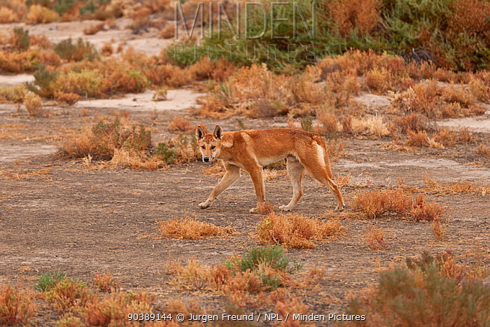 Australian Dingo (Canis lupus dingo) South Australia, Australia  -  Jurgen Freund/ npl