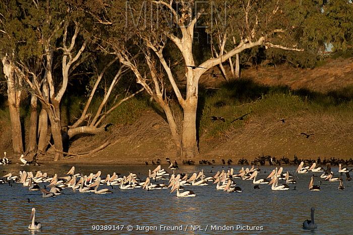 Australian pelicans (Pelecanus conspicillatus) along with Little black cormorants (Phalacrocorax sulcirostris) feeding in the hundreds along the Cooper Creek, South Australia, Australia  -  Jurgen Freund/ npl