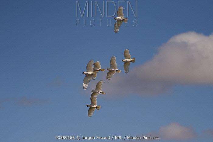 A flock of Little Corellas flying (Cacatua sanguinea) South Australia, Australia  -  Jurgen Freund/ npl