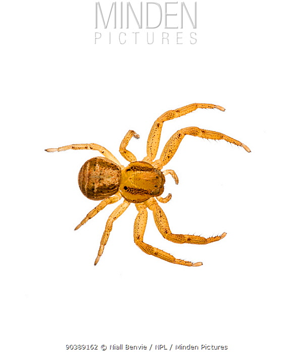 Crab spider (Xysticus cristatus) on white background Inverness-shire, Scotland, February  -  Niall Benvie/ npl