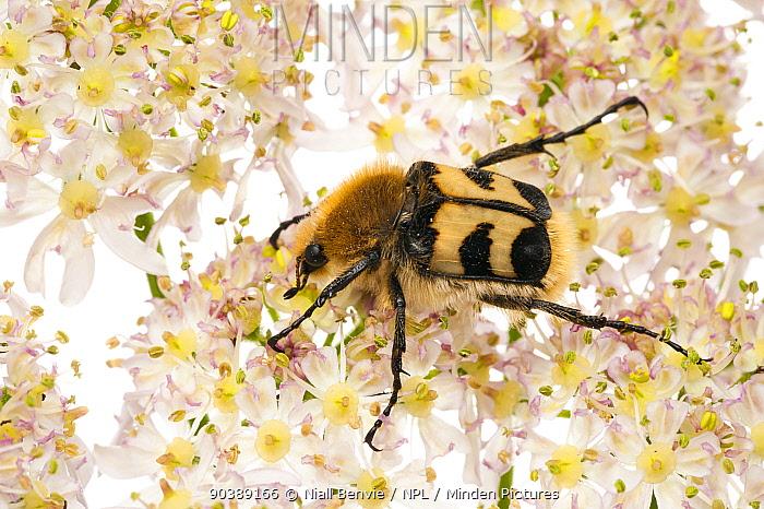 Bee Beetle (Trichius fasciatus) on Hogsweed flowers Scotland, UK, July  -  Niall Benvie/ npl
